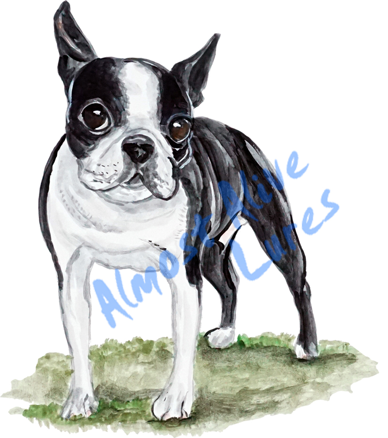 Vinyl Decal (Made in USA) Boston Terrier STK407