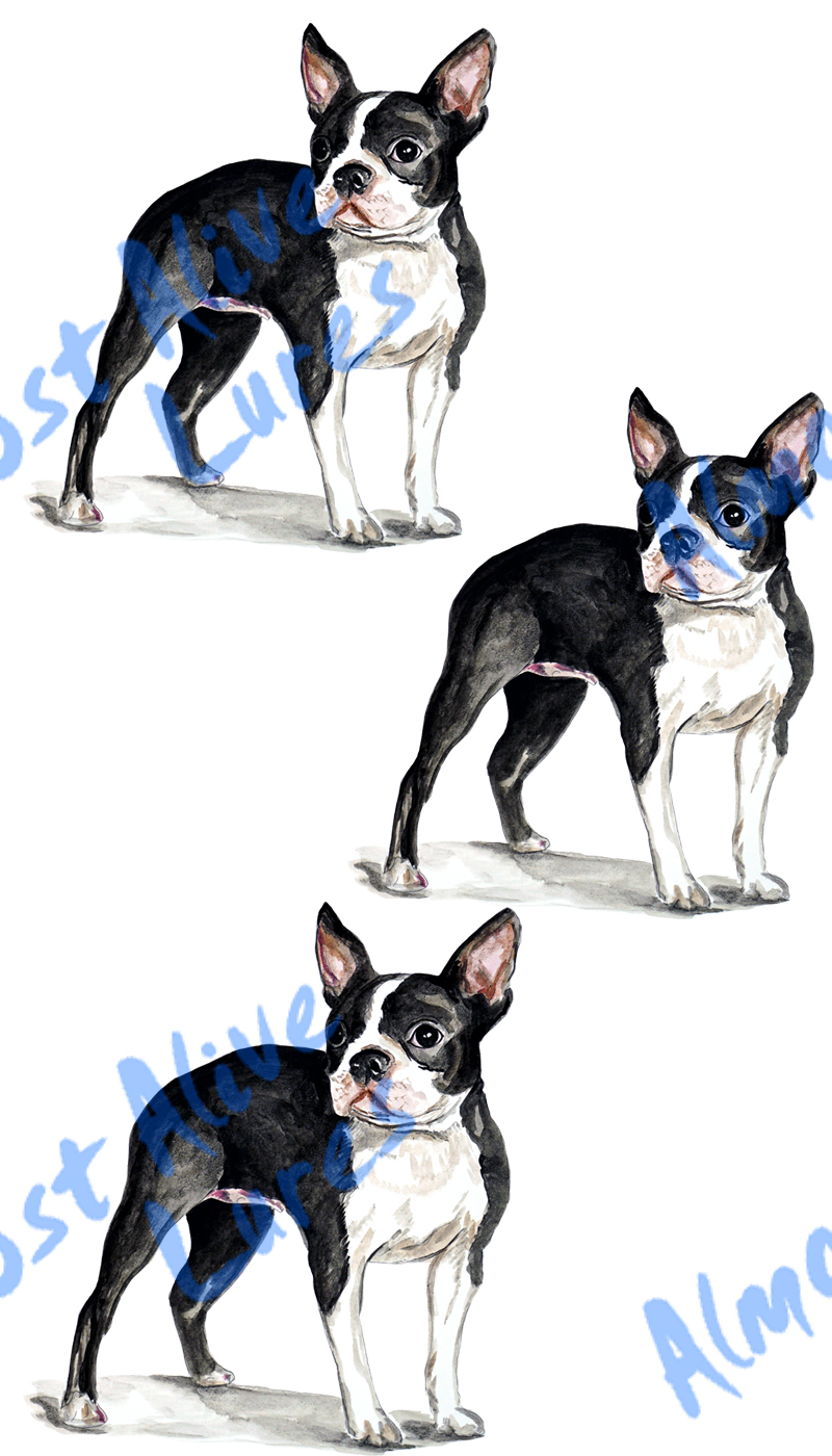 Vinyl Decal (Made in USA) Boston Terrier STK489