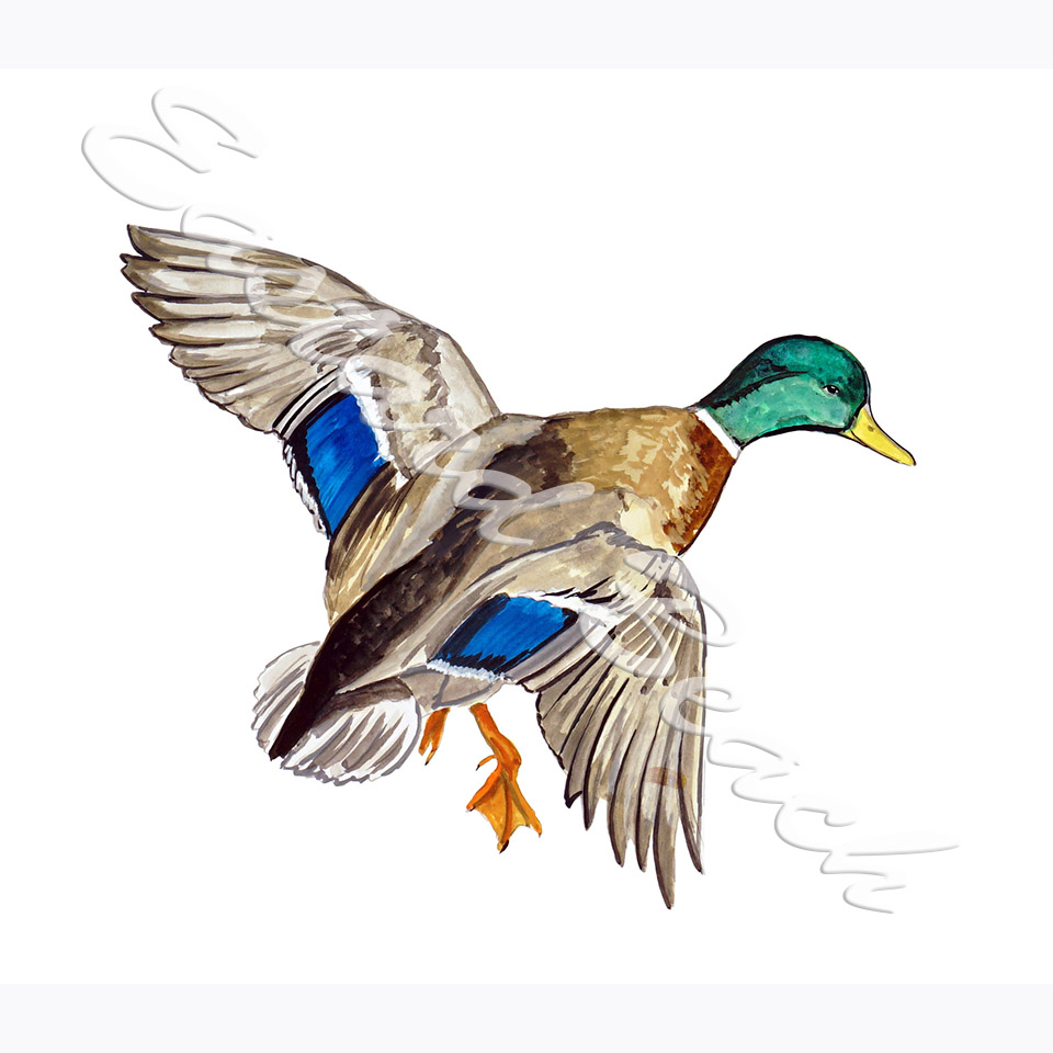 Mallard Duck - 5.279 x 6.130 Inches