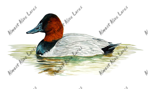 Bird Decal - Red Headed Duck Large Decal--10.826x5.034