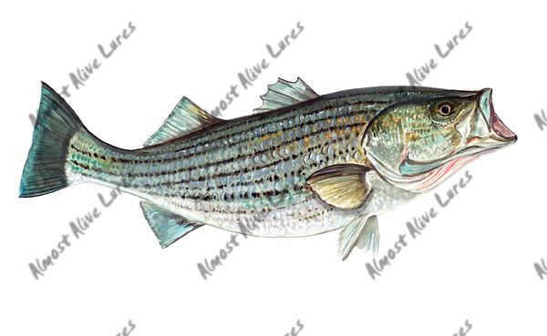 Fish Decal - Striped Bass