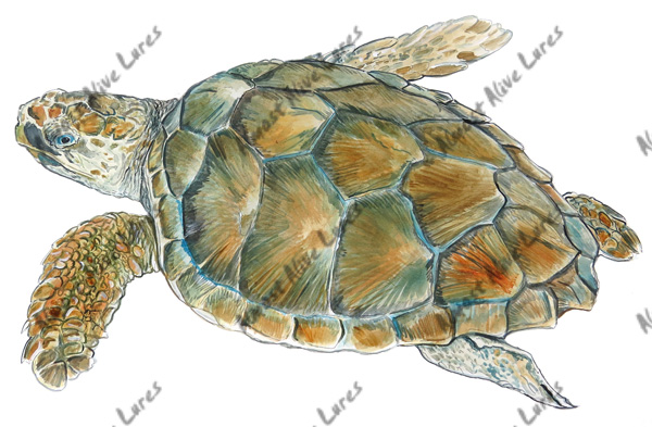 Fish Decal - Loggerhead Sea Turtle